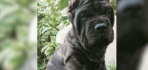 Най-голямото куче в света тежи над 80 кг на 9 месеца (ВИДЕО+СНИМКИ)