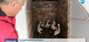 ЗАРАДИ ЛЕДЕНИЯ ДЪЖД: Хора от Североизточна България приютяват щъркели (ВИДЕО)
