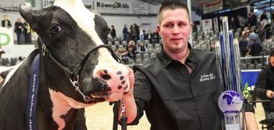 Избраха най-красивата крава на две германски провинции (СНИМКИ)