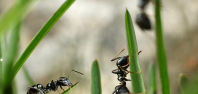 """Учени откриха нов вид """"експлодиращи"""" мравки"""