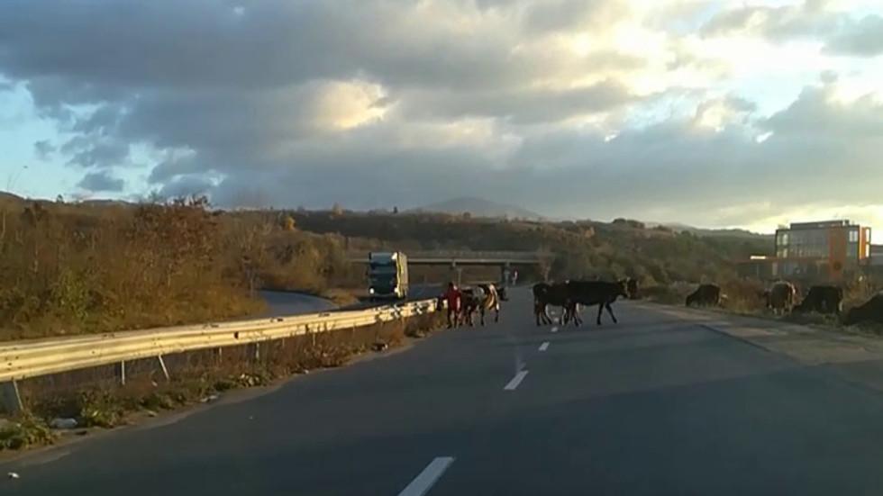 Крави на Околовръстния път в Казанлък
