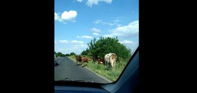 Кравите на пътя