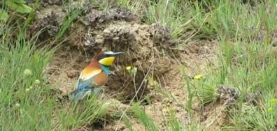 Европейски пчелояд - най-красивата като многоцветие птица!