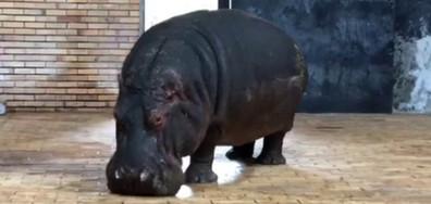 Плачещият хипопотам в зоогическата градина в София