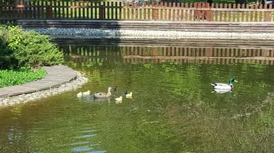 Новите обитатели на езерото в Борисовата градина